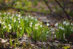 Snowdrops no foco Fotos de Stock Royalty Free