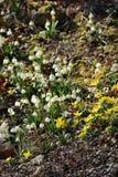 Snowdrops no jardim da flor na primavera Fotografia de Stock Royalty Free