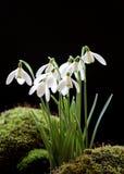 Snowdrops no preto Imagem de Stock Royalty Free