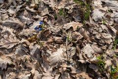snowdrops Passagens novas da vida através das folhas velhas fotos de stock