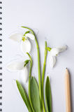 Snowdrops and a pencil on white paper Stock Photography