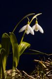 Snowdrops. Plant of snowdrops against blue background Royalty Free Stock Images
