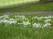 Snowdrops in primavera Immagine Stock