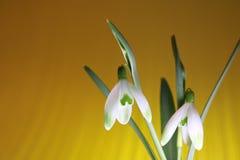Snowdrops in primavera immagini stock