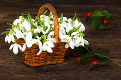 Snowdrops in punnet with red berries Royalty Free Stock Photography