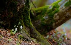 Snowdrops que crece en un bosque Fotos de archivo libres de regalías