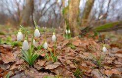 Snowdrops que crece en un bosque Imagen de archivo