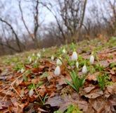 Snowdrops que crece en un bosque Fotos de archivo