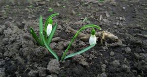 Snowdrops que sube de la nieve para anunciar la primavera Fotografía de archivo libre de regalías