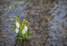 Snowdrops reflection in the water Royalty Free Stock Images