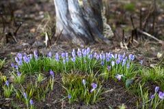 Snowdrops roxos Imagem de Stock