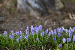 Snowdrops roxos que crescem em um parque em seguido Mola Fotos de Stock Royalty Free