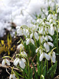 Snowdrops on show Stock Image