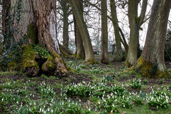 Woodland Snowdrops Stock Photo