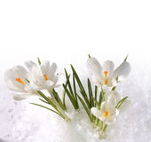 Snowdrops in snow Stock Images