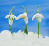 Snowdrops in snow Royalty Free Stock Photography