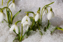 Snowdrops on snow Stock Photo