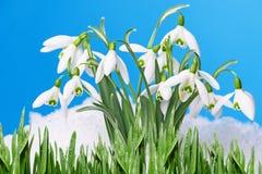 Snowdrops stock photos