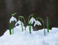 Snowdrops  in snow Royalty Free Stock Images