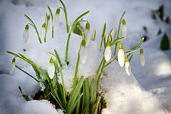 Snowdrops in snow Royalty Free Stock Photos