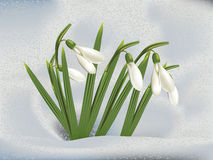 Snowdrops in snow. First spring flowers snowdrops in snow background Stock Photo