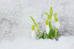 Snowdrops on the snow. Royalty Free Stock Image