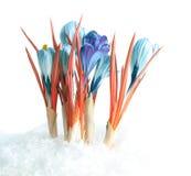 Snowdrops in snow Stock Photo