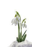 Snowdrops in the snow isolated. On white background Royalty Free Stock Photo