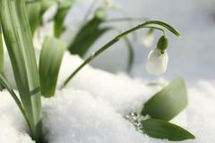 Snowdrops in the snow royalty free stock images