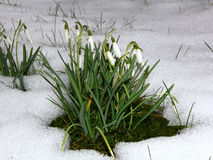 Snowdrops in snow Stock Photography