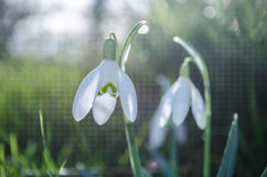 Snowdrops. Snowdrop flowers in spring in garden Royalty Free Stock Image