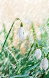 Snowdrops in the snowfall Royalty Free Stock Photography