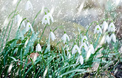 Snowdrops in the snowfall Royalty Free Stock Images