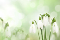 Snowdrops spring flowers royalty free stock photography