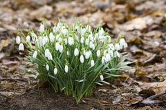 Snowdrops - spring flowers Stock Photos