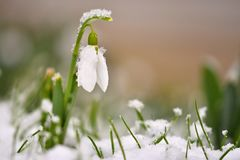 Snowdrops spring flowers. Beautifully blooming in the grass at sunset. Delicate Snowdrop flower is one of the spring symbols. Ama Stock Images