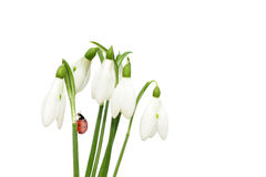 Snowdrops spring  flowers  and ladybird Stock Images
