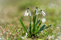 Snowdrops. Spring flowers - snowdrop in the forest stock images