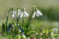 Snowdrops. Spring flowers - snowdrop in the forest stock photos