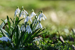 Snowdrops. Spring flowers - snowdrop in the forest Royalty Free Stock Photo