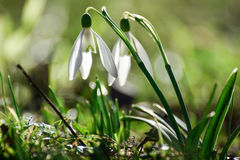 Snowdrops. Spring flowers - snowdrop in the forest royalty free stock photos