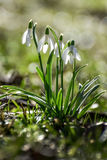 Snowdrops. Spring flowers - snowdrop in the forest royalty free stock images
