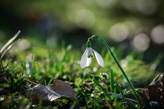 Snowdrops. Spring flowers - snowdrop in the forest royalty free stock image