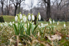 Snowdrops. Spring flowers- white snowdrops after rain stock photo
