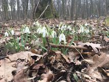 Snowdrops in the spring forest Royalty Free Stock Photos