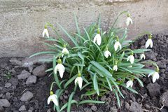 Snowdrops in spring, Galanthus nivalis and galanthus elwesii for encyclopedia. Spring bouquet. Easter background. Nature. Snowdrops in spring, Galanthus nivalis royalty free stock photography
