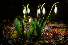 Snowdrops. Spring snowdrops, in the garden royalty free stock photo