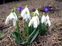 Snowdrops in spring season Stock Images