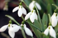 Snowdrops spring season Stock Photos