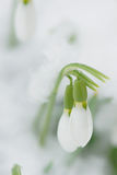 Snowdrops in the spring time Royalty Free Stock Photo